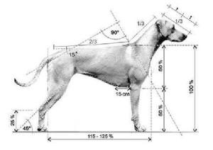 ridgeback-anatomie